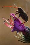 Charançon du chêne, femelle (Curculio glandium)