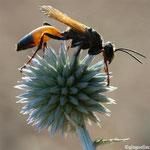 Sphex à ailes jaunes (Sphex flavipennis)