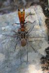Cryptocheilus annulatus trainant une araignée paralysée de la famille des Lycoses