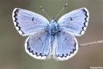 Azuré du thym (Pseudophilotes baton)