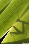 Ombre de mante religieuse, mâle (Mantis religiosa)