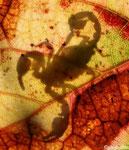 2 Ombre de Scorpion (Euscorpius carphaticus)