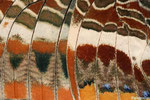 Détail de l'aile de la Nymphale de l'arbousier