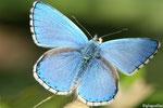 Bel argus (Lysandra bellargus)