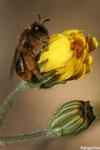Andrène (Andrena sp2)
