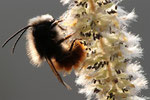 42 Osmia cornuta (mâle)