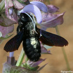 Xylocopa violacea butinant une sauge sclarée