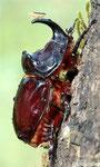 Oryctes nasicornis (Rhinocéros)