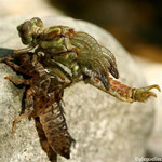 Emergence d'un gomphe à crochets (Onychogomphus uncatus)