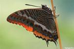 Nymphale de l'arbousier (Charaxes jasius)