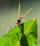 Empuse mâle, vue de face (Empusa pennata)