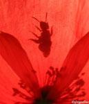 Ombre d'abeille