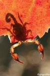 3 Ombre de Scorpion (Euscorpius carphaticus)