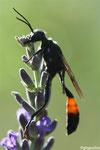 Hoplammophila armata
