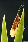 Adulte de Limnephilide (Trichoptère)