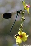 Calopteryx éclatant mâle (Calopteryx splendens)