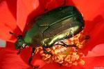 Potosia cuprea (Cétoine dorée)