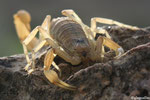 1 Scorpion languedocien (Buthus occitanus)