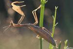 Mante religieuse, femelle (Mantis religiosa)