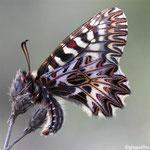 Diane (Zerynthia polixena)