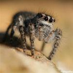 20 Jeune araignée de la famille des Salticidae