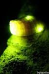 Lamprohiza splendidula (Lampyre, femelle)