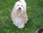 Tibet Terrier -  Gi-no Tashi - Jomo