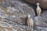 Griechische Inseln - überall Ziegen und Schafe