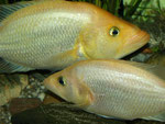 Paar von Petenia splendida (Weibchen im Vordergrund) mit einem Teil des Geleges