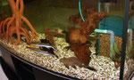 600-Liter Becken u.a. mit 2 Exemplaren von Sorubim lima (Spatelwels)