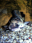 Froschwels-Männchen vor seinem Versteck