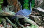 Calophysus macropterus: Ein herrliches Tier mit einer sehr schönen Färbung.