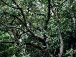 Diese Mangroven–Nachtbaumnatter (Boiga dendrophila) kommt am Ohong-Fluss sehr häufig vor.