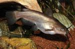 Brauner Katzenwels (Ameiurus nebulosus)