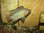 Tilapia spec.: dominantes Männchen