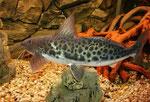 Calophysus macropterus: Beeindruckend ist die Wendigkeit dieser Welse.