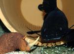 """""""Black Devil Catfish"""" - attackiert den vermeintlichen Eindringling."""