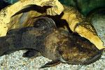 35 cm langer Cephalosilurus fowleri mit typisch rostbrauner Färbung