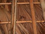 Über uns im Dach lebten hunderte harmlose Jagdspinnen.