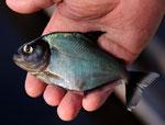 Der Grüne Piranha (Serrasalmus brandtii) wird bis 25 Zentimeter groß.