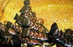 Megalechis picta: Kaum ein anderer Wels ist als Jungtier - hier 5 cm - so verfressen wie der Gemalte Schwielenwels.