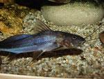Exallodontus aguanai: liebt eine stärkere Strömung