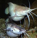 Froschwelspaar