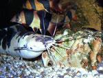 Hier wird das Froschwelsmännchen von Prachtschmerlen (Chromobotia macracanthus) bedrängt.