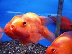 """Allerdings sieht man solche Fische bei uns häufig in chinesischen Restaurants als """"Zierfische""""."""