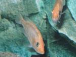 Junge Exemplare von Petenia splendida (Gefleckter Raubbuntbarsch, Bay snook), hier gelborange Farbmorphe
