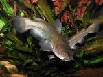 Ameiurus nebulosus: Ungeduldig schwimmen sie an der Frontscheibe auf und ab.