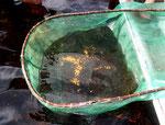 Die Hälfte der gefangenen Fische waren Rotkopfsalmler (Hemigrammus bleheri).