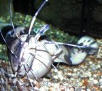 """Clarias batrachus hat etwas froschähnliches - von daher kommt der deutsche Name """"Froschwels""""."""