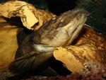 Cephalosilurus fowleri: 35 cm langes Exemplar, das gleich sein Versteck verlassen wird.
